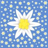 Edelweiss op blauwe achtergrond Stock Afbeeldingen