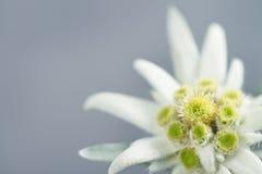 Edelweiss op grijze achtergrond Stock Afbeeldingen