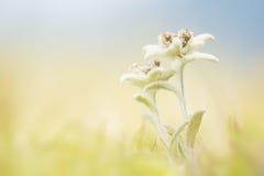 Edelweiss op het gebied stock fotografie