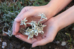 Edelweiss in palms Stock Images