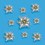 Edelweiss Paper Blue Background Royalty Free Stock Images