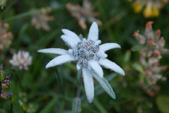 Edelweiss. The plant is unequally distributed and prefers rocky limestone places at about 1800–3000 m altitude. It is non toxic, and has been used Royalty Free Stock Image
