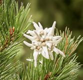 Edelweiss .. a romantic flower Stock Photo