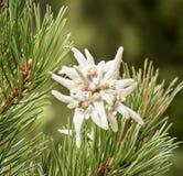 Edelweiss .. a romantic flower Stock Photo