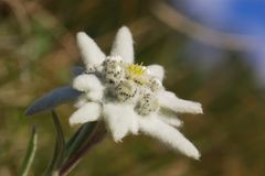 Edelweiss selvagens Foto de Stock Royalty Free