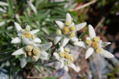 Edelweiss selvaggi Immagine Stock