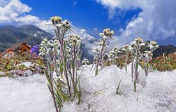 Free Edelweiss Snow Concept Rare Flowers Royalty Free Stock Images - 107240729