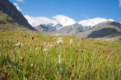 edelweiss som växer lawn som fotografering för bildbyråer