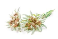 Edelweissbloemen over wit worden geïsoleerd dat Royalty-vrije Stock Foto's