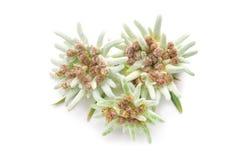 Edelweissbloemen over wit worden geïsoleerd dat Royalty-vrije Stock Afbeeldingen
