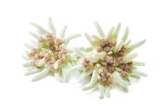 Edelweissbloemen over wit worden geïsoleerd dat Royalty-vrije Stock Foto
