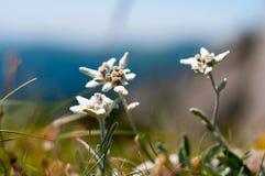 Edelweissen blommar i Ciucas berg, rumänska Carpathians arkivfoton