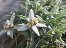 Edelweisses (火绒草属alpinum) 免版税库存照片