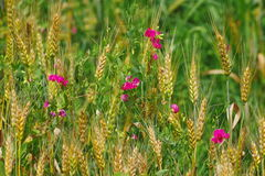 Edelwickeblumen und Ohren des Weizens stockbild