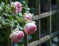 Eden Rose Royalty Free Stock Images