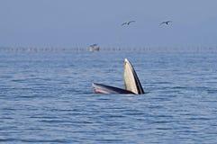 Edeni полосатика кита Bryde Стоковые Фотографии RF