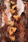 Edera appassita su un albero, priorità bassa Fotografie Stock