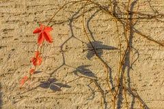 Edera in autunno Fotografia Stock