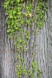 Edera che cresce su un albero Fotografie Stock Libere da Diritti