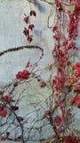 Edera con le foglie rosse sulla parete bianca immagine stock libera da diritti