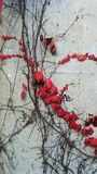 Edera con le foglie rosse sulla parete bianca fotografia stock libera da diritti