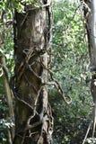 Edera d'invasione che inghiotte un albero dalla terra in su, 2 Immagini Stock Libere da Diritti
