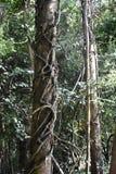 Edera d'invasione che inghiotte un albero dalla terra in su, 1 Fotografia Stock Libera da Diritti