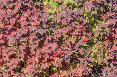 Edera del giardino Fotografie Stock