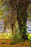 Edera dell'albero Immagini Stock Libere da Diritti
