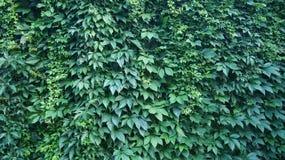 Edera dell'edera sulla parete fotografie stock libere da diritti
