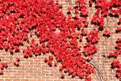 Edera di autunno Fotografia Stock