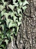 Edera di strisciamento su un albero Immagini Stock Libere da Diritti
