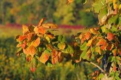 Edera di veleno, autunno Fotografie Stock