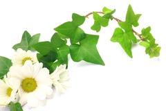 Edera e crisantemo Fotografia Stock