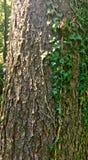 Edera e l'albero Fotografie Stock Libere da Diritti