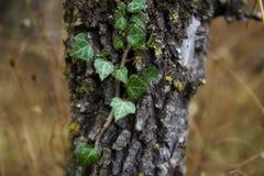Edera ed albero Fotografia Stock Libera da Diritti