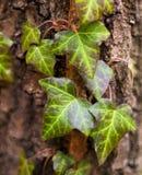 Edera (edera comune, edera inglese, edera europea) Fotografia Stock