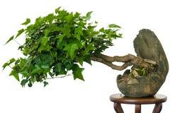 Edera (hedera helix) come albero dei bonsai fotografie stock libere da diritti