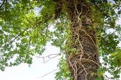 Edera morta su un tronco di albero Fotografia Stock