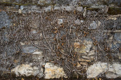 Edera morta sulla parete di pietra Fotografie Stock Libere da Diritti