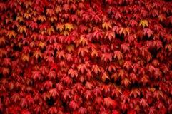 Edera rossa Fotografie Stock Libere da Diritti