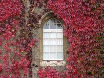 Edera rossa che cresce intorno alla finestra incurvata Immagini Stock