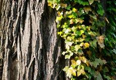 Edera selvatica che cresce sulla corteccia dell'albero, sfondo naturale Fotografie Stock Libere da Diritti