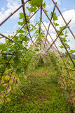 Edera su bambù Immagini Stock Libere da Diritti