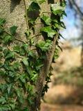 Edera su un albero Fotografia Stock