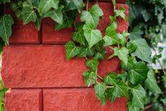 Edera su un muro di mattoni rosso Fotografie Stock Libere da Diritti