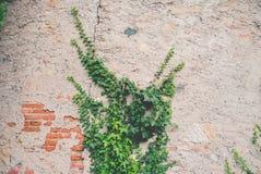 Edera su un vecchio muro di mattoni Immagini Stock