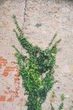 Edera su un vecchio muro di mattoni Immagini Stock Libere da Diritti