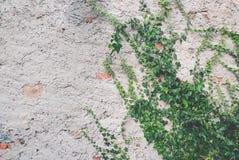 Edera su un vecchio muro di mattoni Fotografia Stock Libera da Diritti