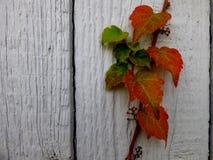 Edera su una parete di legno Fotografia Stock Libera da Diritti